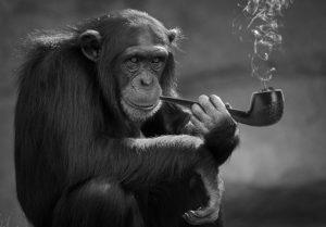 Affe der Raucht